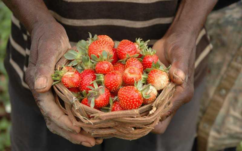 Les trésors du jardin de Mr Dialo (Guinée Conakry)