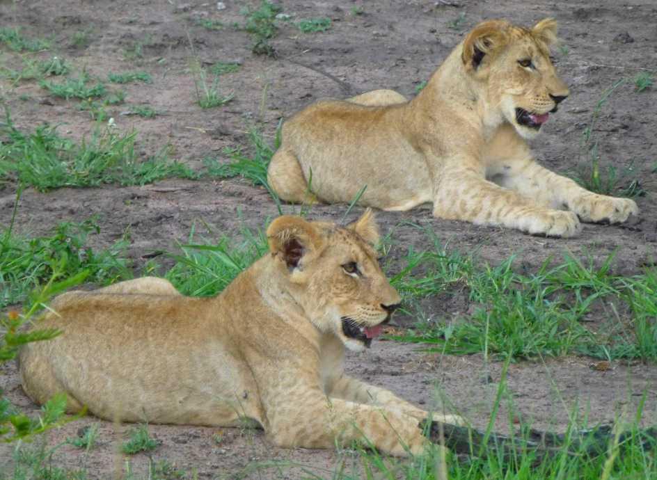 bestglobe l arche de no de la r serve de phinda en afrique du sud 1 2 la famille lion. Black Bedroom Furniture Sets. Home Design Ideas