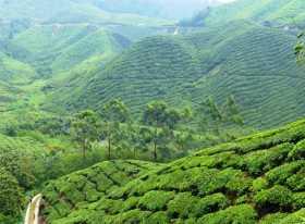 Asie Malaisie Cameron Highland plantation thé théier cueillette Des vagues de vert à perte de vue