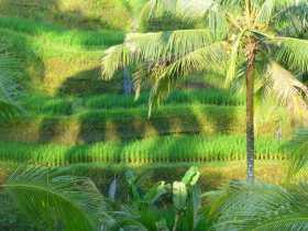 Indonésie Bali rizières riz terrasses L'ombre d'un palmier le soir sur la rizière de Tegallalang