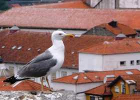 Europe Portugal Porto Douro Les cormorans maîtres des toits