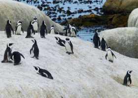 Le colonie de manchots se trémoussant sur le plage de Boulders beach près du Cap en Afrique du Sud