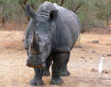 Journée mondiale de l'environnement espèces sauvages biodiversité Un rhinocéros que j'ai croisé au Sénégal. Est-il encore vivant ?