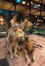 Taxidermie douanes protection des animaux Vue des trois lions qui viennent de s'installer dans la Grande Galerie de l'Evolution au Museum national naturel d'histoire naturelle près d'Austerlitz © MNHN-Bernard Faye