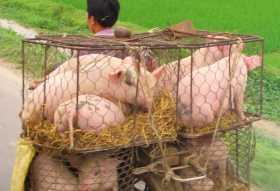débrouillardise système D La jagaad dans le monde : comment transporter un troupeau de porcs sans camion (ici au Vietnam)