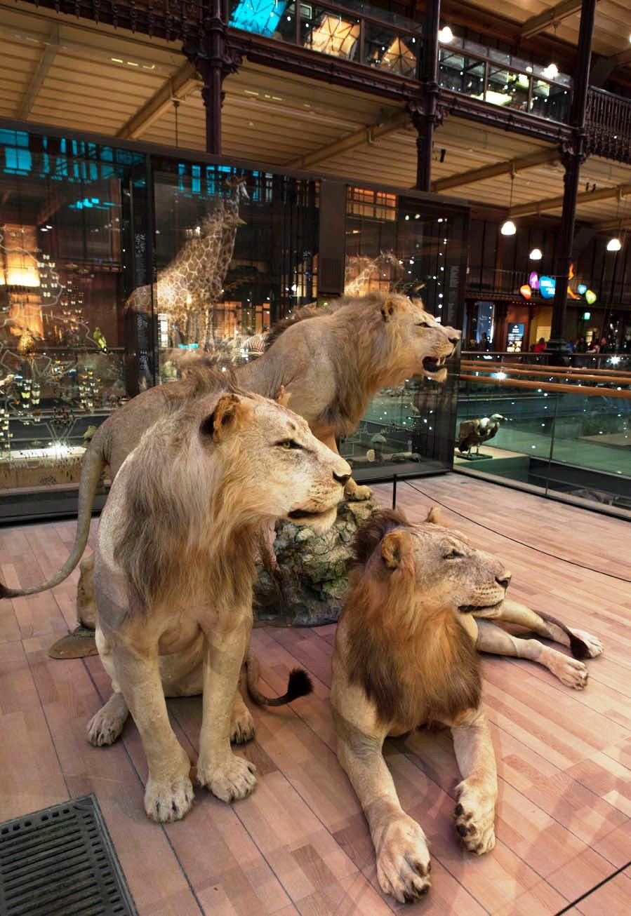 Bestglobe les lions entr s dans paris for Jardin animaux paris